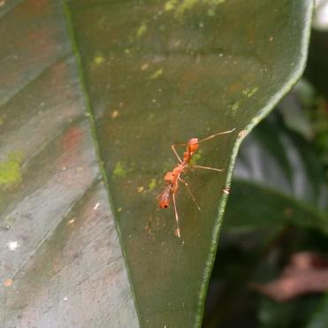 Kerengga Spider