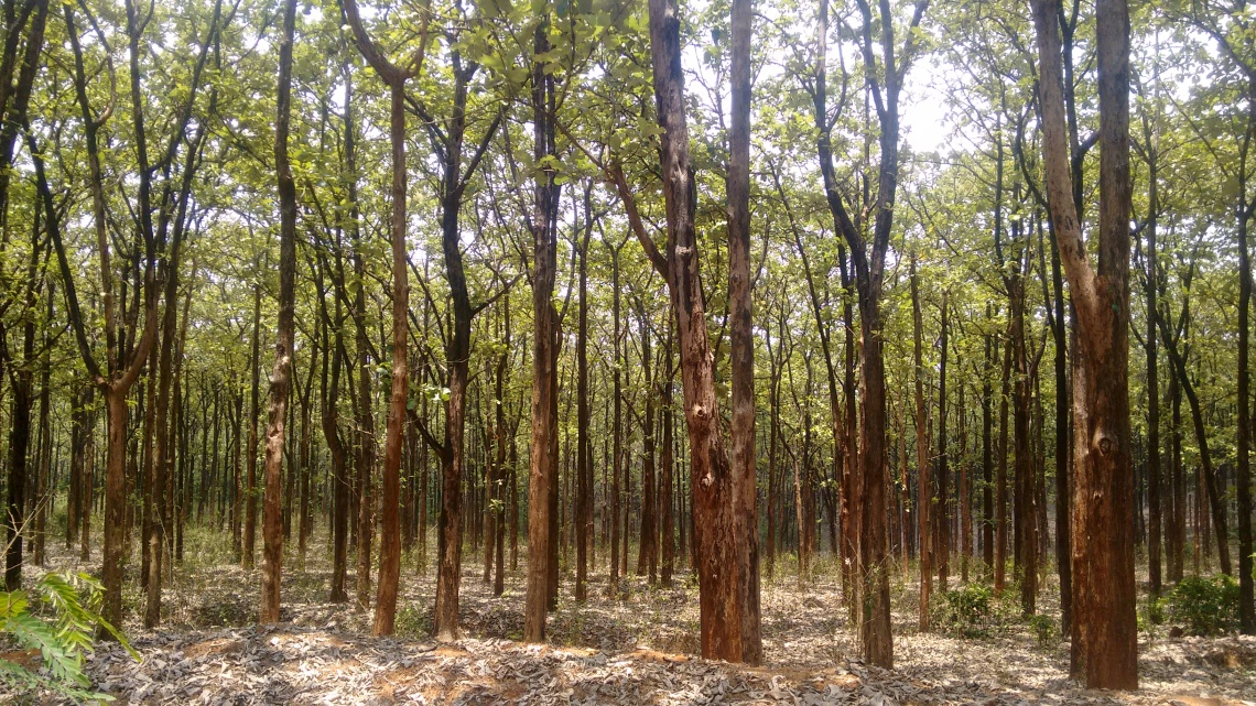 Forest land converted into teak plantation