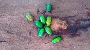 Gree-beetle gathering