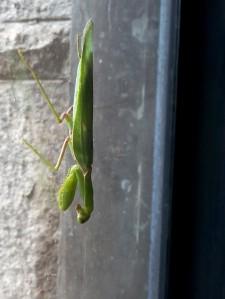 window_mantis