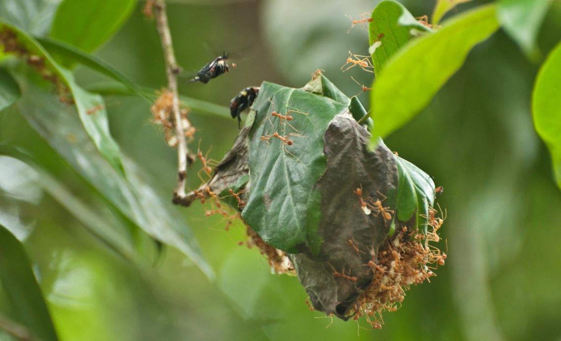 Weaver ants and beetle 2.JPG