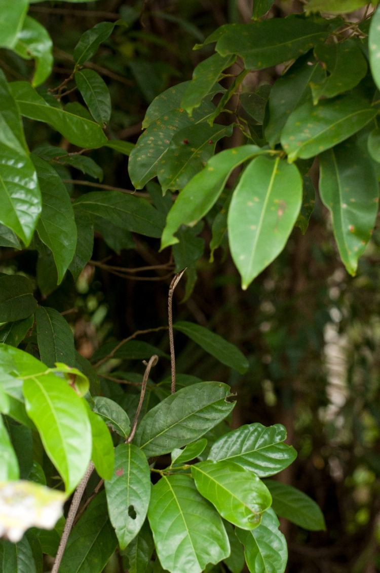 Brown vine snake mimicking branch movement