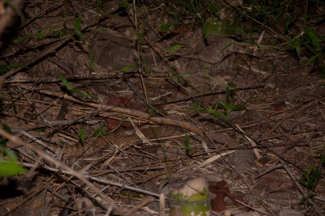 Cobra moving through bamboo bushes