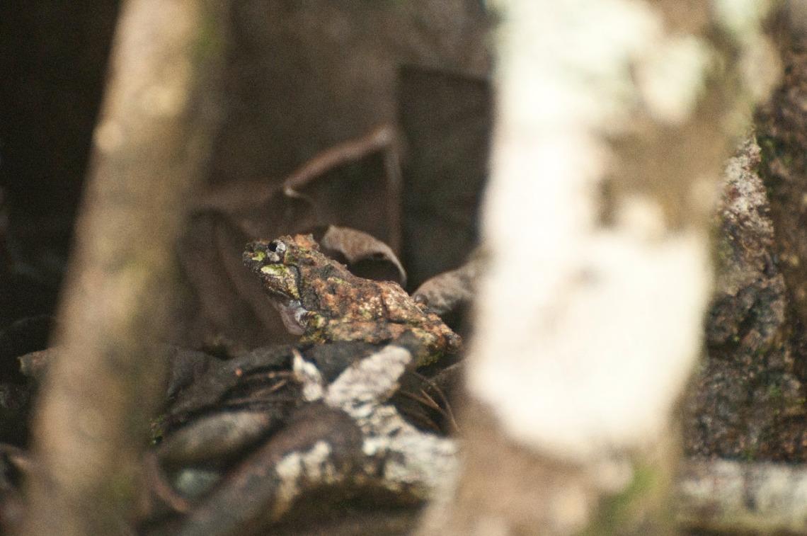 Frog looking like tree bark