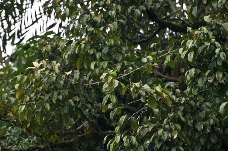 Green leaf bird