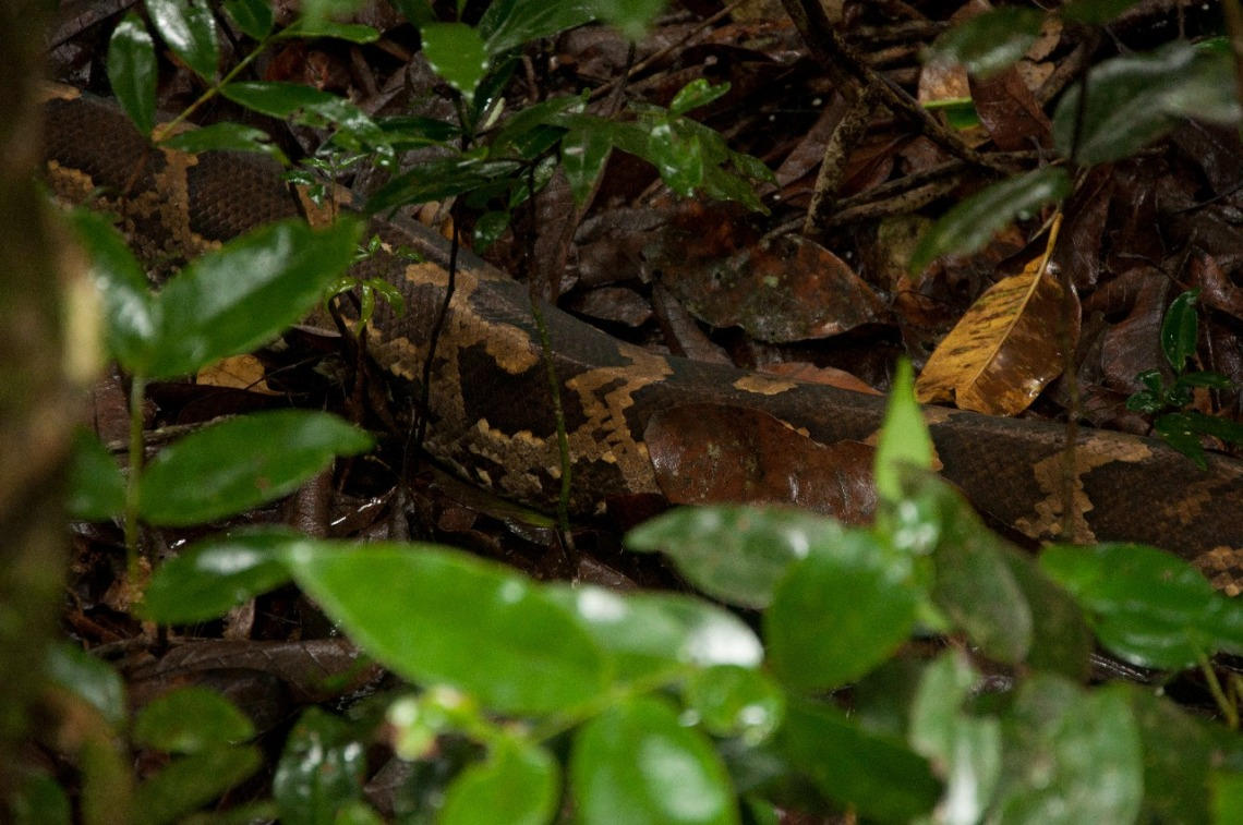 Indian rock python moving slowly on dry leaf