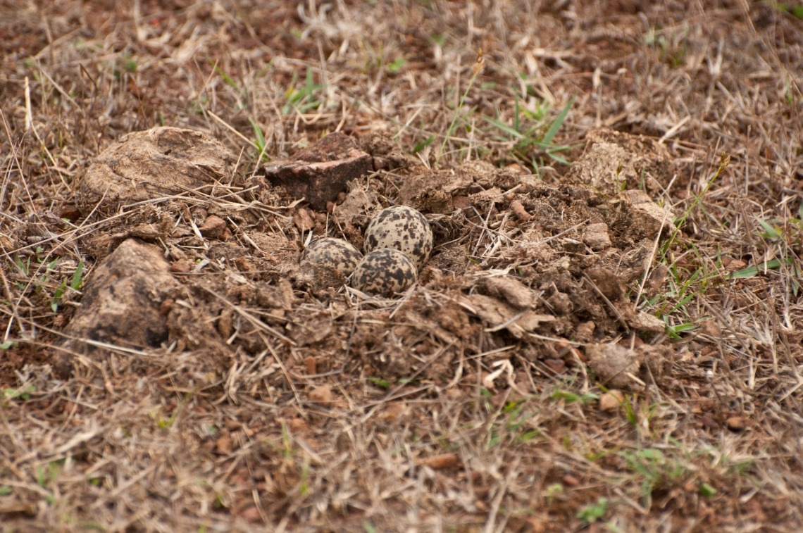 Yellow-wattled lapwing eggs camouflaged with color spots similar to the nest