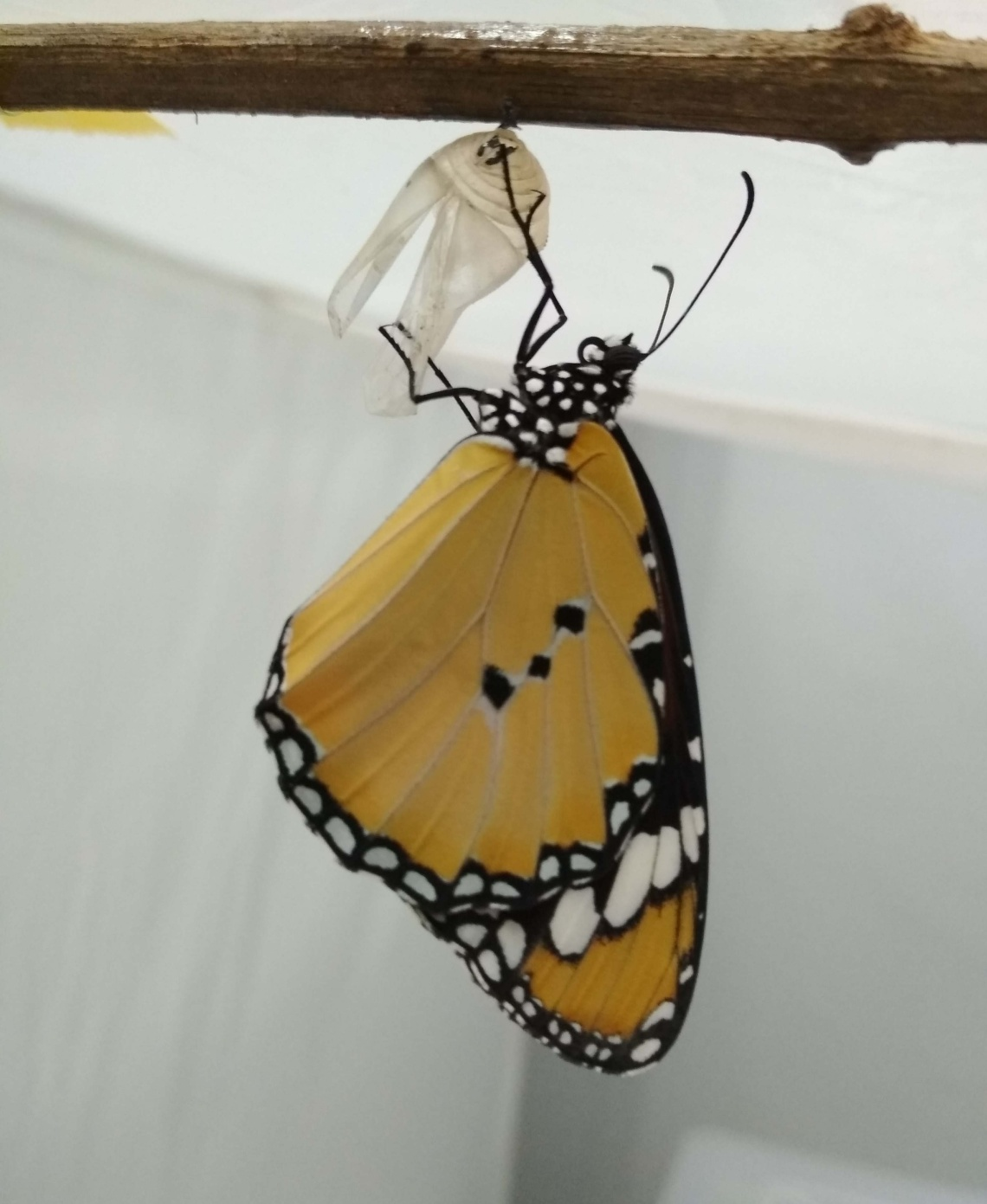 adult_butterfly