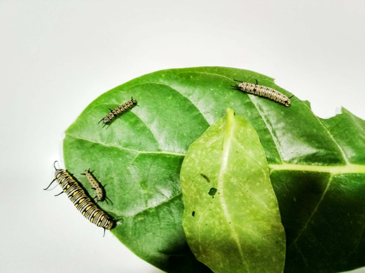different_stages_caterpillars1