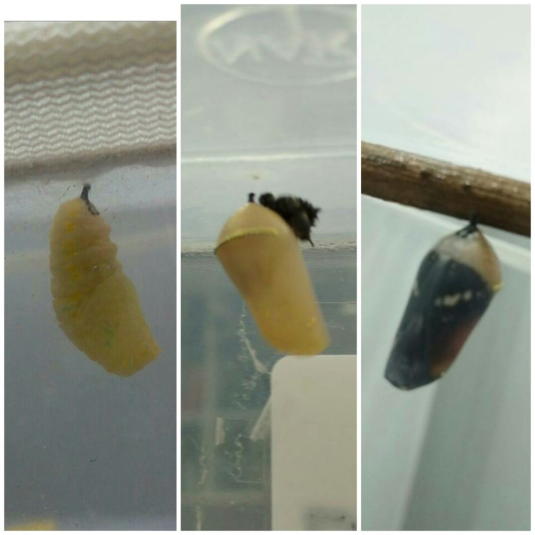 different_stages_of_pupa