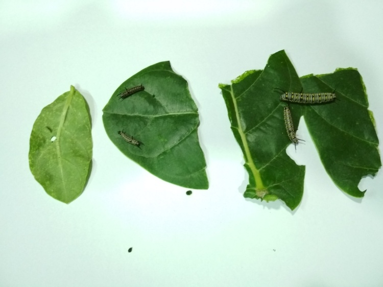 stage 1 to 5 of caterpillars