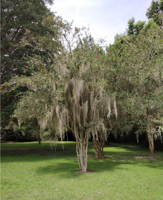 Spanish Moss growing on a tree