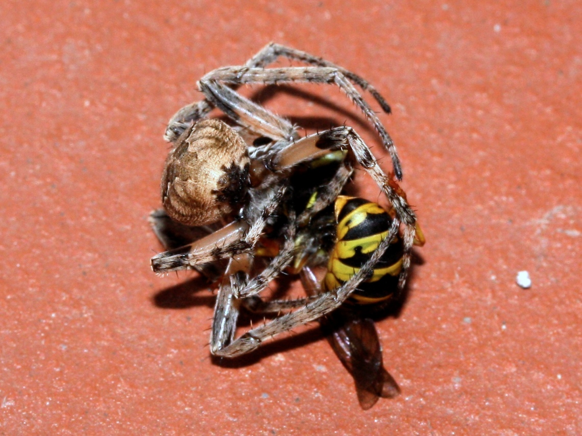Wasp_vs_Spider_Fight_(2786000021)
