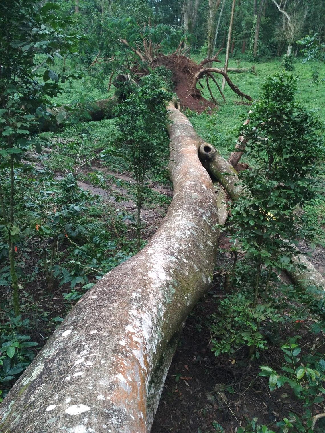 The fallen tree1