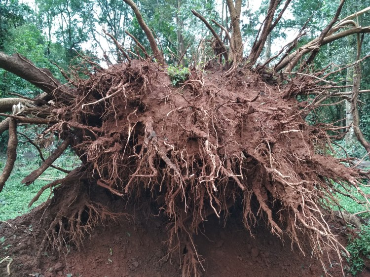 The fallen tree2