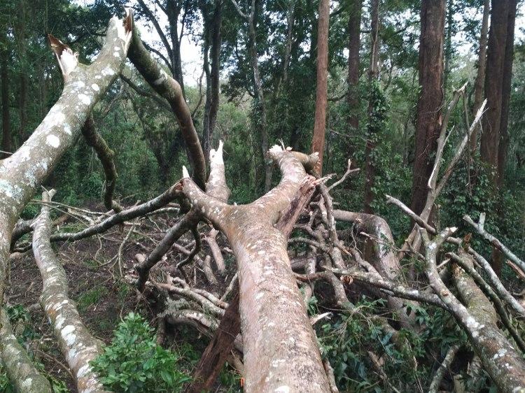 The fallen tree3