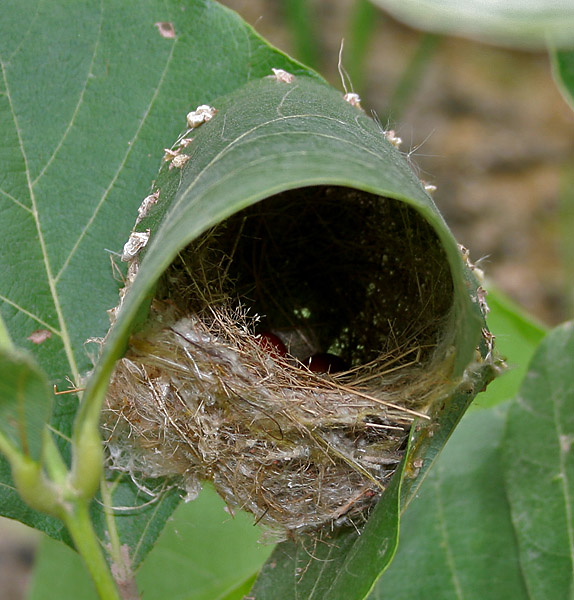 Common_Tailorbird_(Orthotomus_sutorius)_Nest_in_Hyderabad,_AP_W_IMG_7248