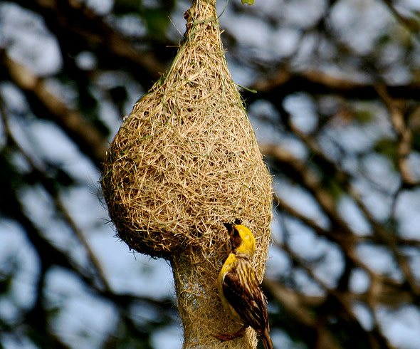 weaver-bird-in-uda-walawe-garden-design_10547