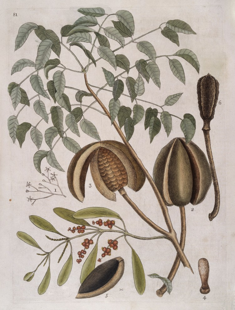 Leaves,_flowers,_fruit_and_seed_pods_of_Mahogany_tree,_1731_Wellcome_L0035348.jpg