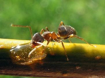 black-garden-ant