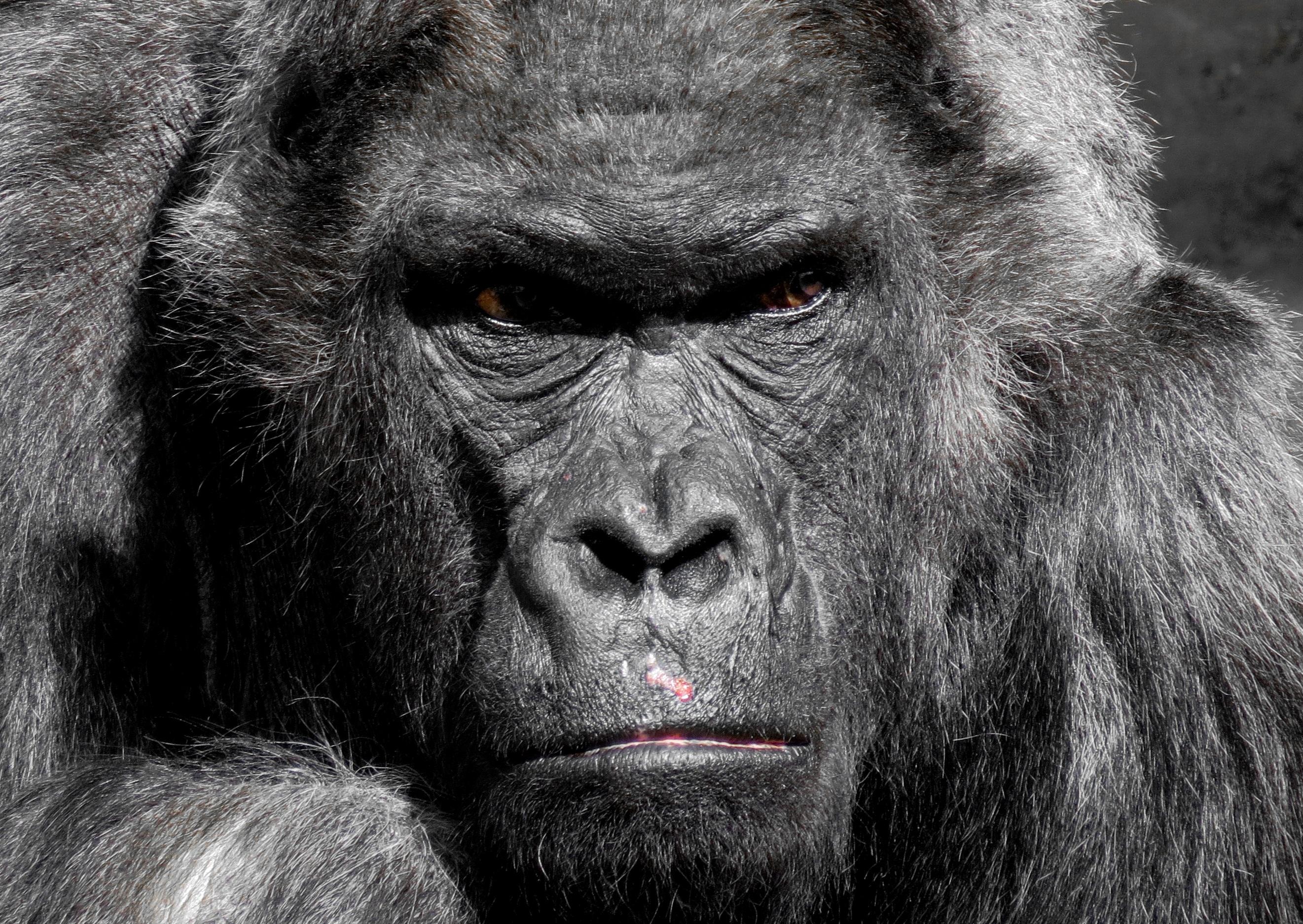 gorilla-752875